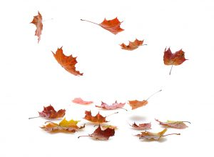 autumn  maple leaves falling  on white background  with shadow